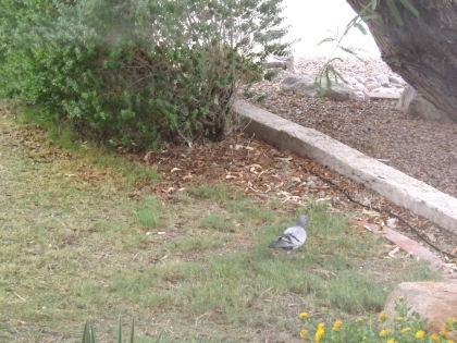 Neighbors beware: This pigeon was spotted eating crushed red pepper in my yard.